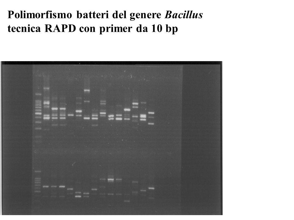 Polimorfismo batteri del genere Bacillus tecnica RAPD con primer da 10 bp