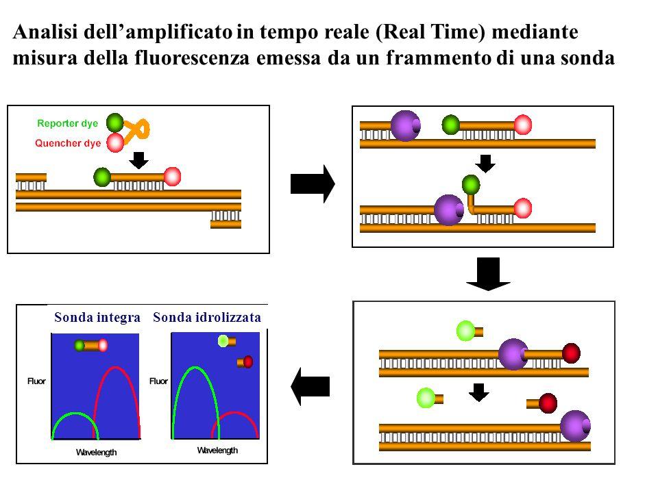 1 2 3 4 5 6 7 8 191 168 218 141 Sonda integraSonda idrolizzata Analisi dell'amplificato in tempo reale (Real Time) mediante misura della fluorescenza