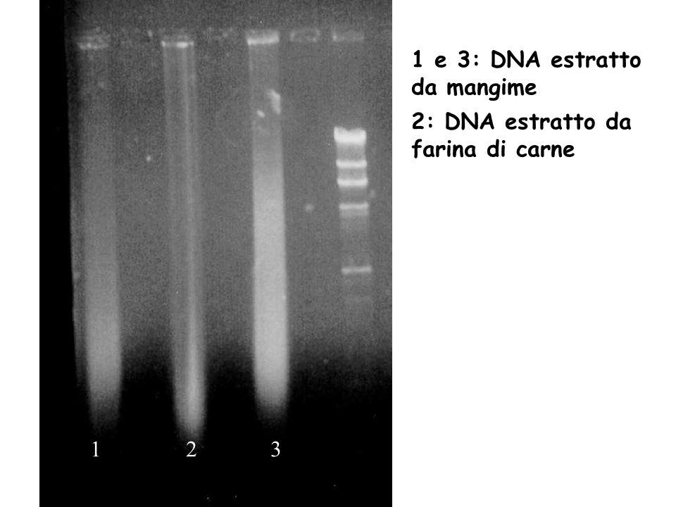 1 2 3 1 e 3: DNA estratto da mangime 2: DNA estratto da farina di carne