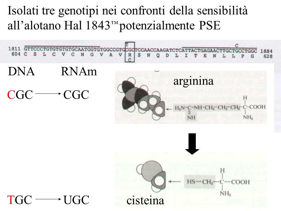 Isolati tre genotipi nei confronti della sensibilità all'alotano Hal 1843 ™ potenzialmente PSE CGCCGC TGCUGC DNARNAm arginina cisteina