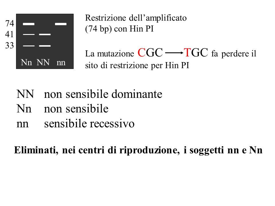 NN non sensibile dominante Nn non sensibile nn sensibile recessivo Restrizione dell'amplificato (74 bp) con Hin PI La mutazione CGC TGC fa perdere il