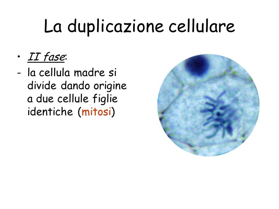 La duplicazione cellulare II fase: -la cellula madre si divide dando origine a due cellule figlie identiche (mitosi)