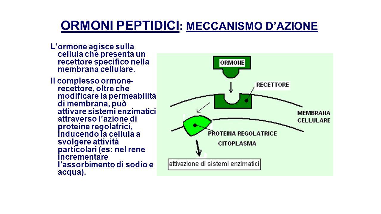 ORMONI STEROIDEI : MECCANISMO D'AZIONE L'ormone steroideo entra nel citoplasma cellulare, si lega ad un recettore e migra al nucleo.