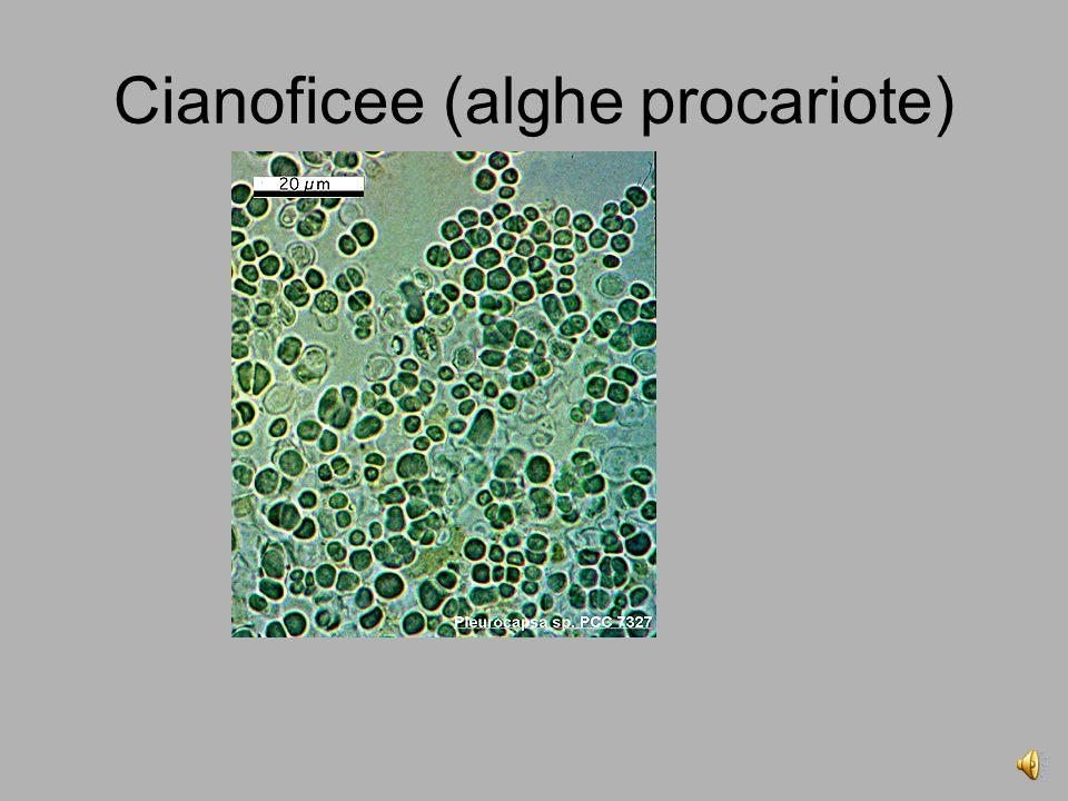 Cianoficee (alghe procariote)