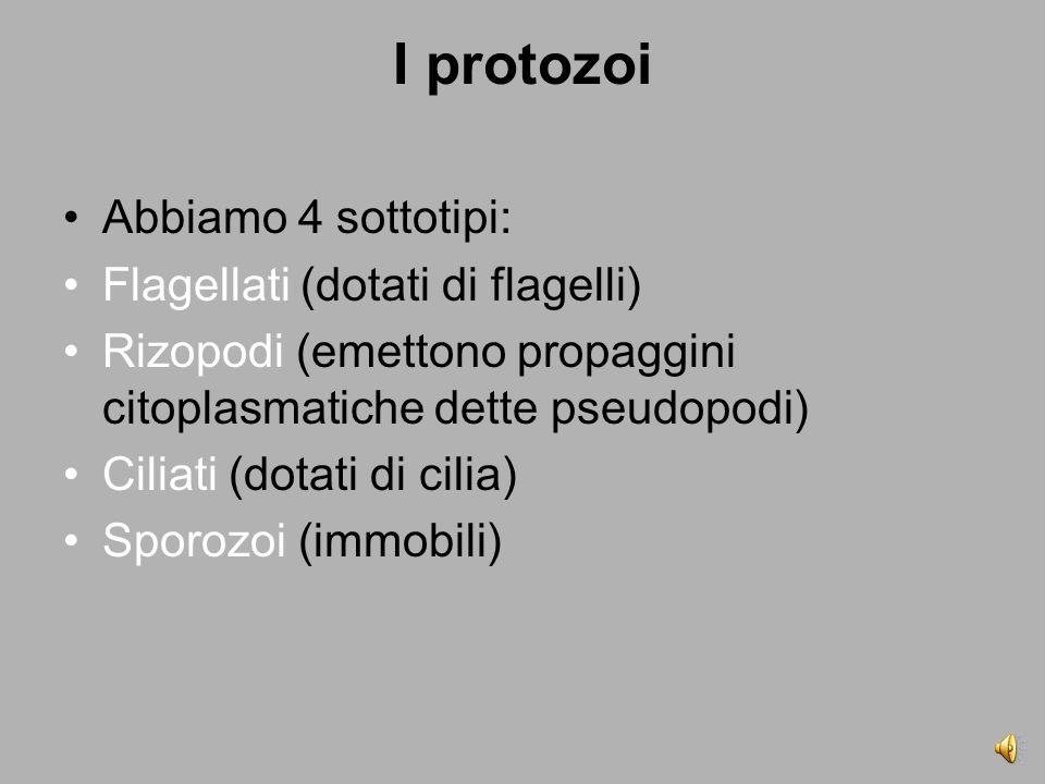 I protozoi Abbiamo 4 sottotipi: Flagellati (dotati di flagelli) Rizopodi (emettono propaggini citoplasmatiche dette pseudopodi) Ciliati (dotati di cilia) Sporozoi (immobili)