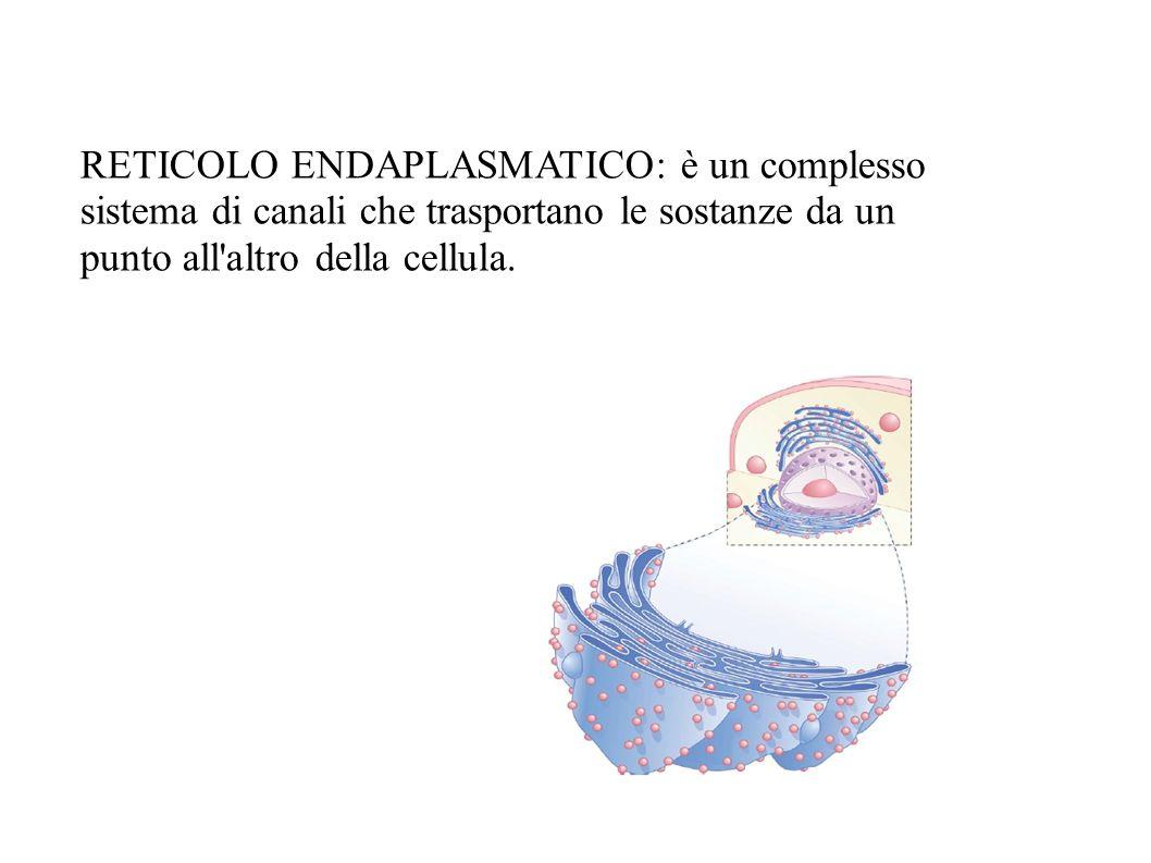 RETICOLO ENDAPLASMATICO: è un complesso sistema di canali che trasportano le sostanze da un punto all'altro della cellula.