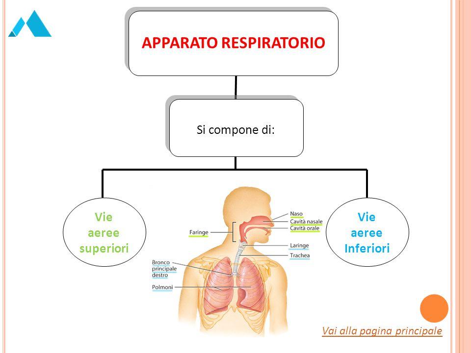 Le prime comprendono: Le cavità nasali; La cavità orale; La faringe.