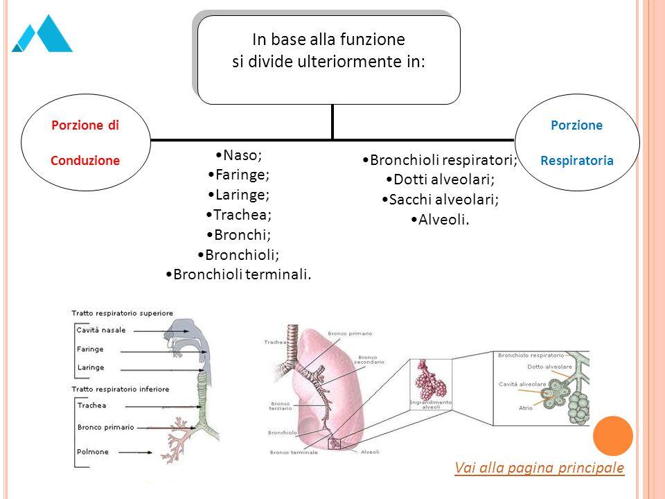 Porzione di Conduzione Porzione Respiratoria In base alla funzione si divide ulteriormente in: In base alla funzione si divide ulteriormente in: Naso;