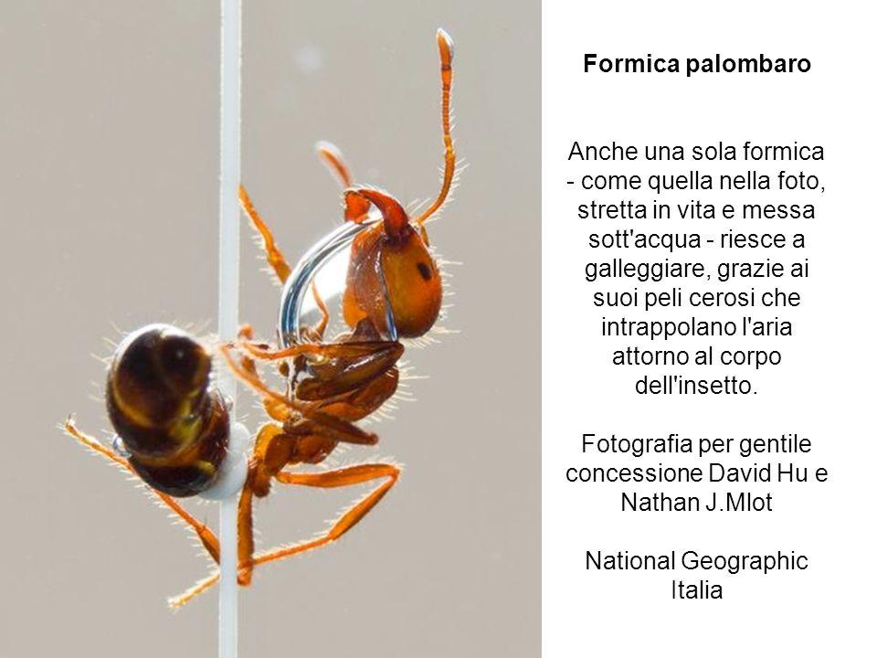 Formica palombaro Anche una sola formica - come quella nella foto, stretta in vita e messa sott'acqua - riesce a galleggiare, grazie ai suoi peli cero