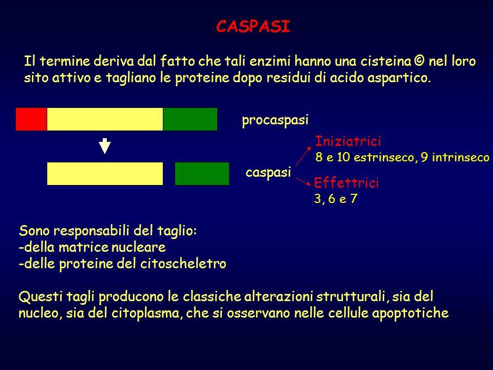 CASPASI Il termine deriva dal fatto che tali enzimi hanno una cisteina © nel loro sito attivo e tagliano le proteine dopo residui di acido aspartico.