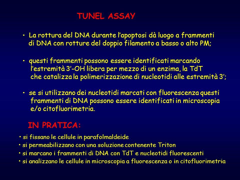 TUNEL ASSAY La rottura del DNA durante l'apoptosi dà luogo a frammenti di DNA con rotture del doppio filamento a basso o alto PM; questi frammenti pos