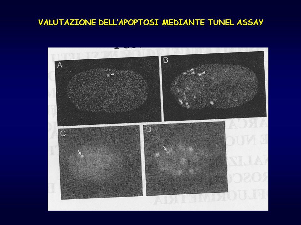 VALUTAZIONE DELL'APOPTOSI MEDIANTE TUNEL ASSAY