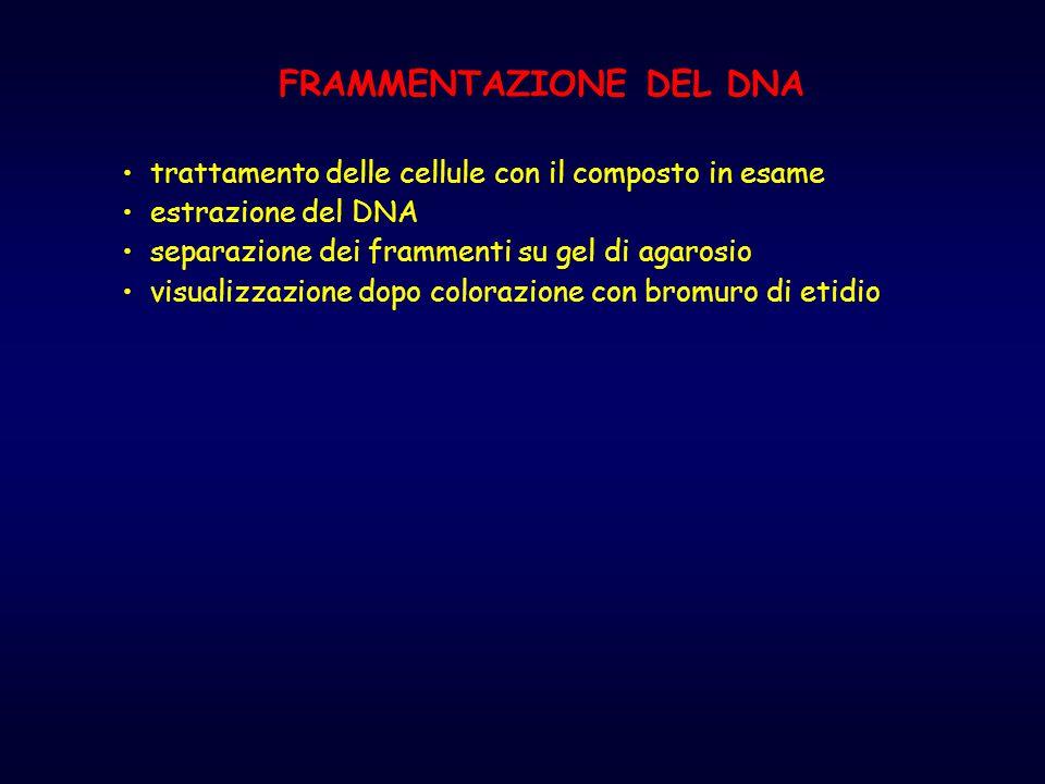 FRAMMENTAZIONE DEL DNA trattamento delle cellule con il composto in esame estrazione del DNA separazione dei frammenti su gel di agarosio visualizzazi
