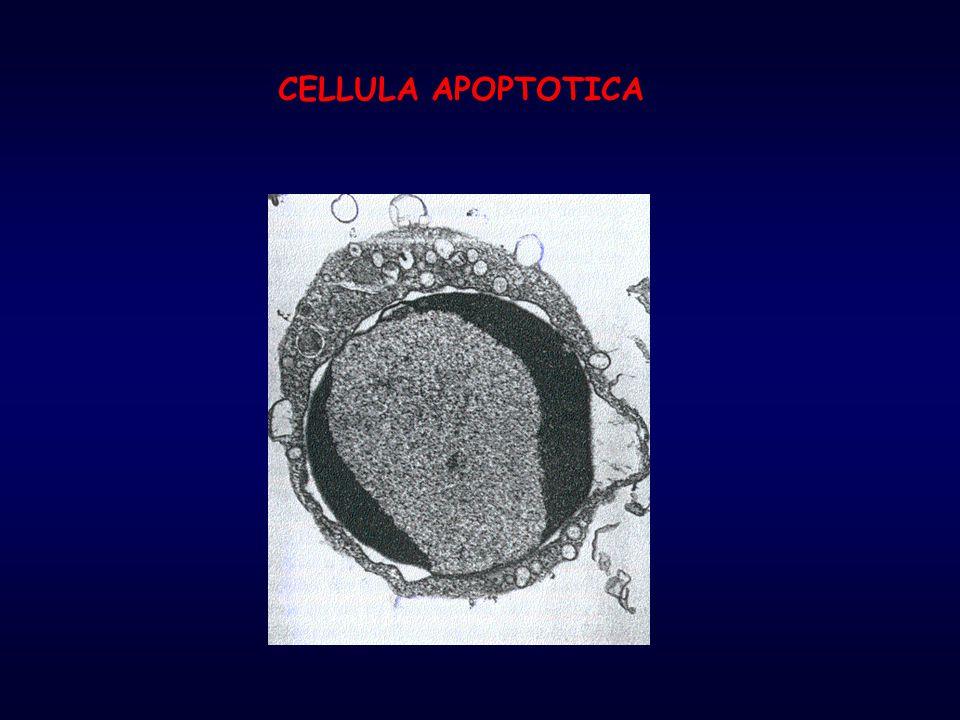  staccare le cellule  contare le cellule  centrifugare a 1300 rpm per 10'  risospendere le cellule in Hoechst (5  g/ml in PBS) alla concentrazione di 100  l/ 10 6 cells  incubare 15' a 37°C  centrifugare a 1900 rpm per 10'  risospendere il pellet in PI (50  g/ml in PBS) alla concentrazione di 50  l/ 10 6 cells  deporre su vetrino e osservare al microscopio a fluorescenza OSSERVAZIONE dei NUCLEI APOPTOTICI