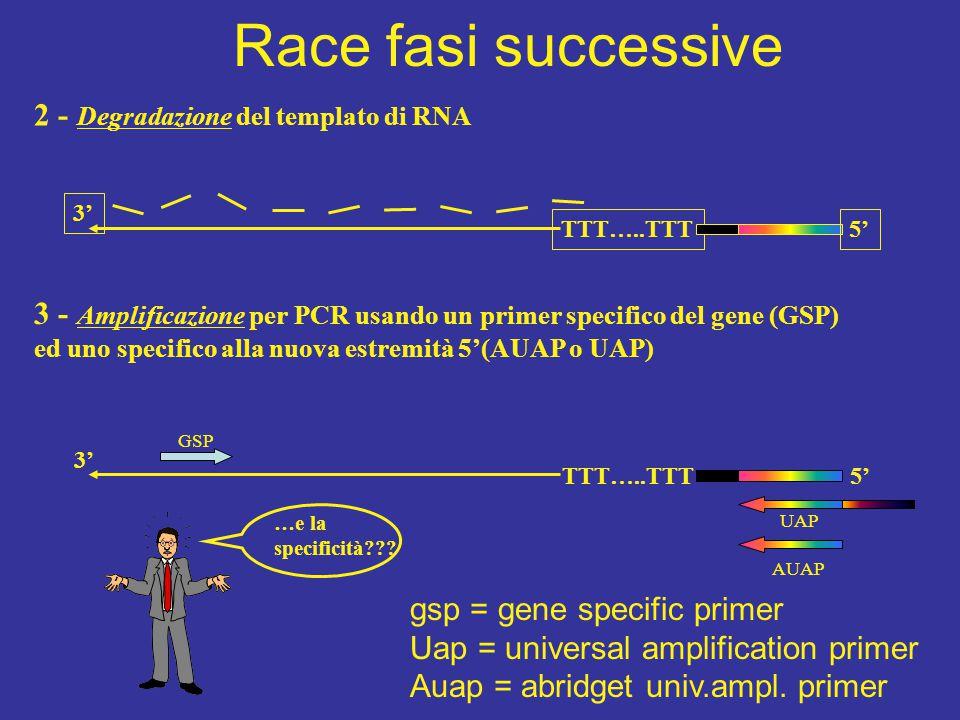 2 - Degradazione del templato di RNA TTT…..TTT5' 3' 3 - Amplificazione per PCR usando un primer specifico del gene (GSP) ed uno specifico alla nuova e
