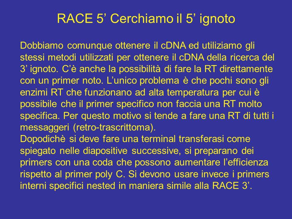 RACE 5' Cerchiamo il 5' ignoto Dobbiamo comunque ottenere il cDNA ed utiliziamo gli stessi metodi utilizzati per ottenere il cDNA della ricerca del 3'