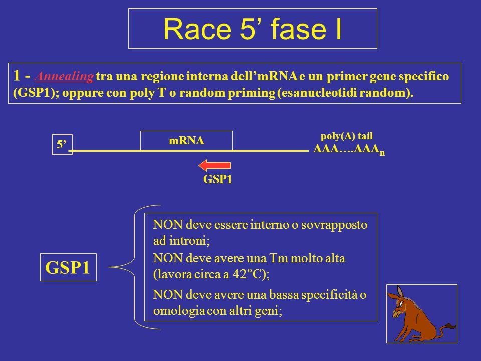 5' AAA….AAA n mRNA poly(A) tail 1 - Annealing tra una regione interna dell'mRNA e un primer gene specifico (GSP1); oppure con poly T o random priming