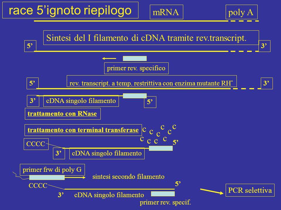 mRNApoly A Sintesi del I filamento di cDNA tramite rev.transcript. primer rev. specifico 5'3' 5'3' 5' 3'cDNA singolo filamento rev. transcript. a temp