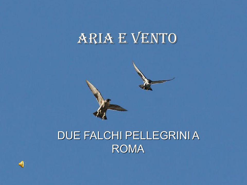 Aria e Vento DUE FALCHI PELLEGRINI A ROMA