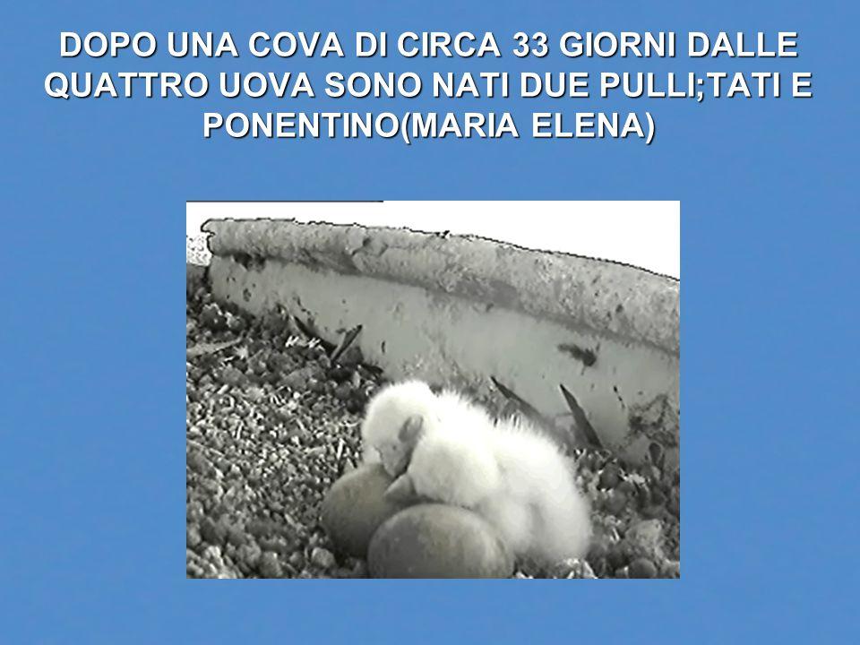 DOPO UNA COVA DI CIRCA 33 GIORNI DALLE QUATTRO UOVA SONO NATI DUE PULLI;TATI E PONENTINO(MARIA ELENA)