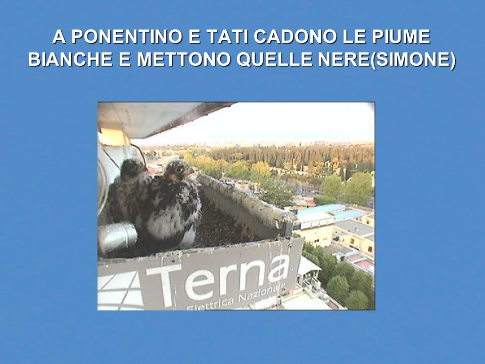 A PONENTINO E TATI CADONO LE PIUME BIANCHE E METTONO QUELLE NERE(SIMONE)
