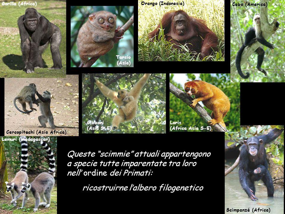 Tarsio (Asia) Loris (Africa Asia S-E) Lemuri (Madagascar) Cebo (America) Cercopitechi (Asia Africa) Gibboni (Asia S-E) Orango (Indonesia) Gorilla (Afr