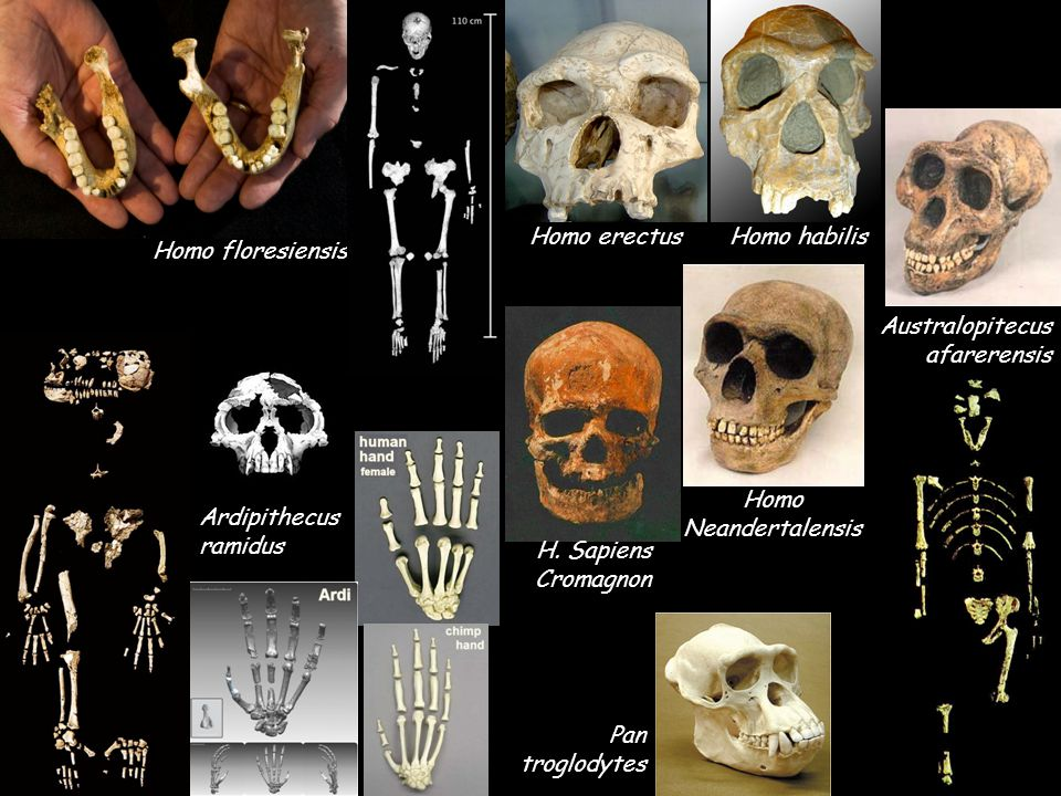 Homo floresiensis Homo erectusHomo habilis Ardipithecus ramidus Australopitecus afarerensis H. Sapiens Cromagnon Homo Neandertalensis Pan troglodytes