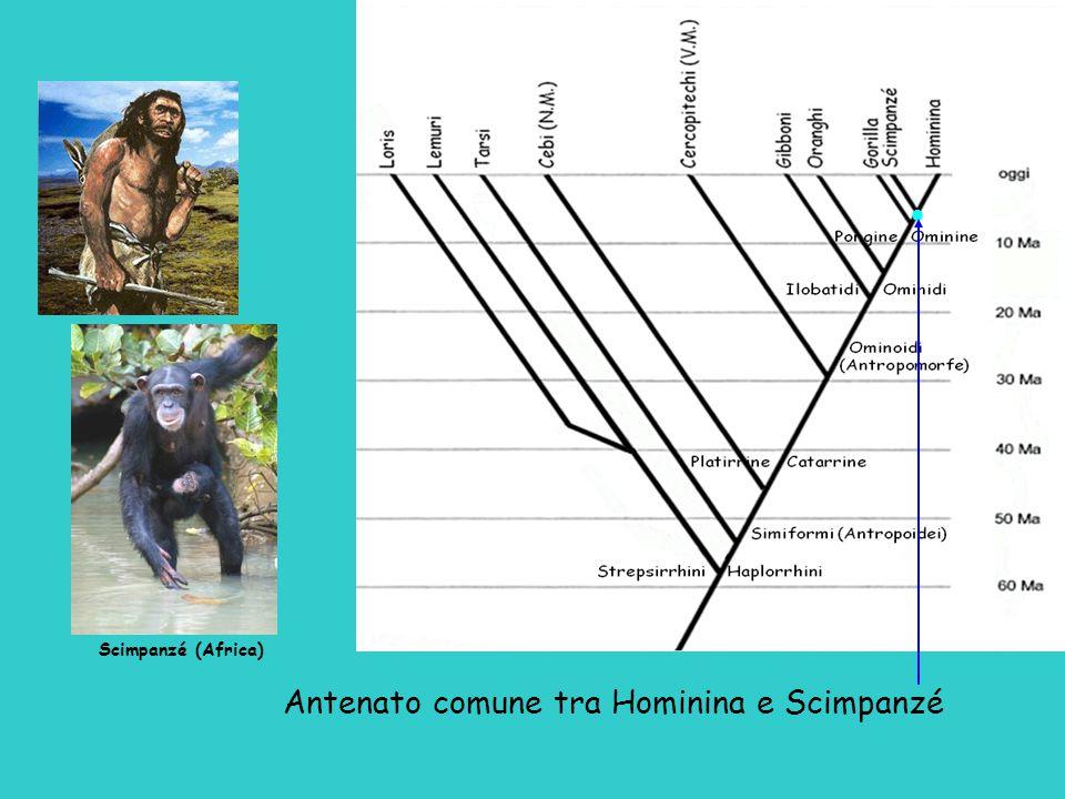 Antenato comune tra Hominina e Scimpanzé  Scimpanzé (Africa)