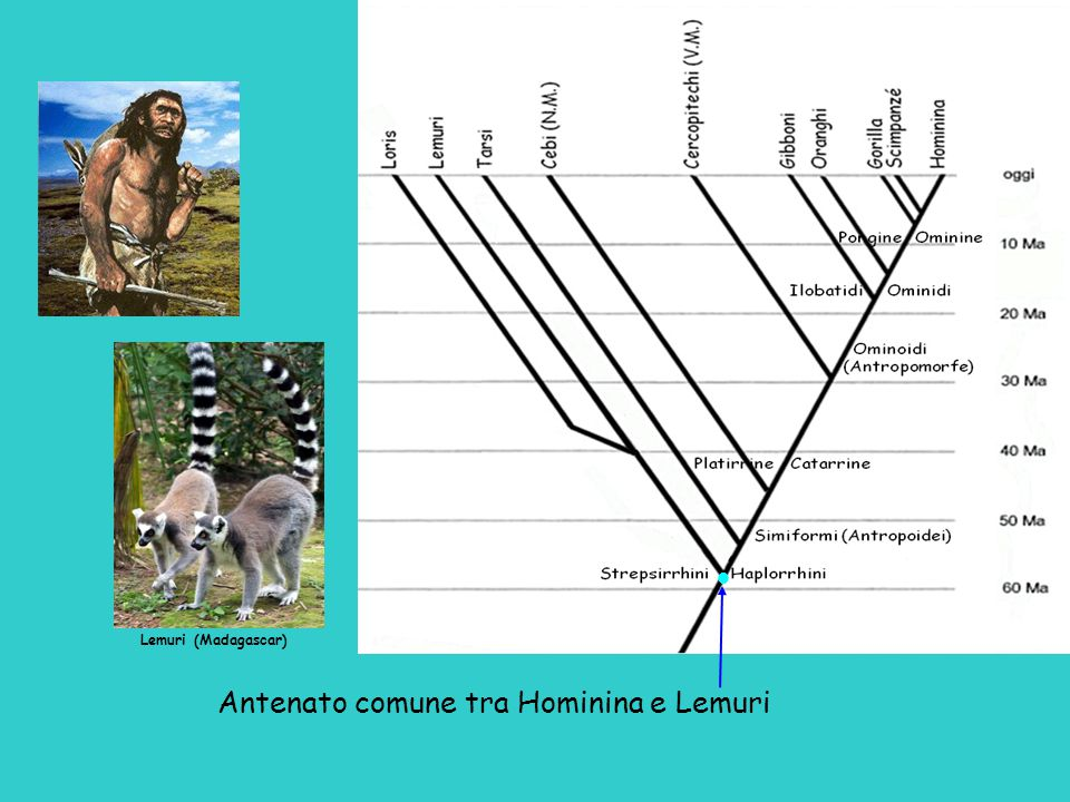 Antenato comune tra Hominina e Lemuri Lemuri (Madagascar) 