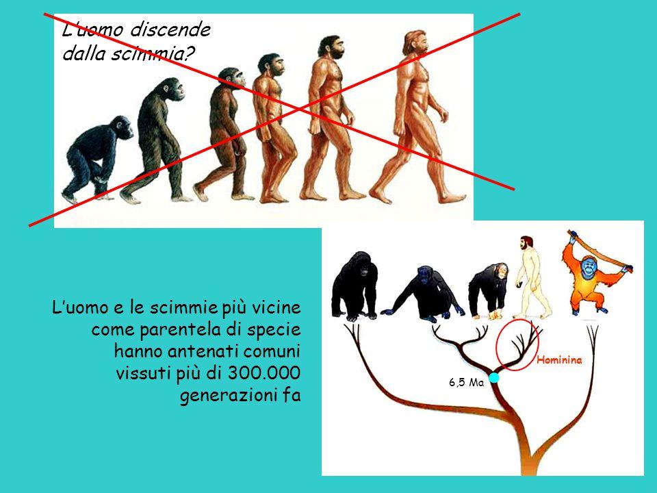 L'uomo discende dalla scimmia? L'uomo e le scimmie più vicine come parentela di specie hanno antenati comuni vissuti più di 300.000 generazioni fa Hom