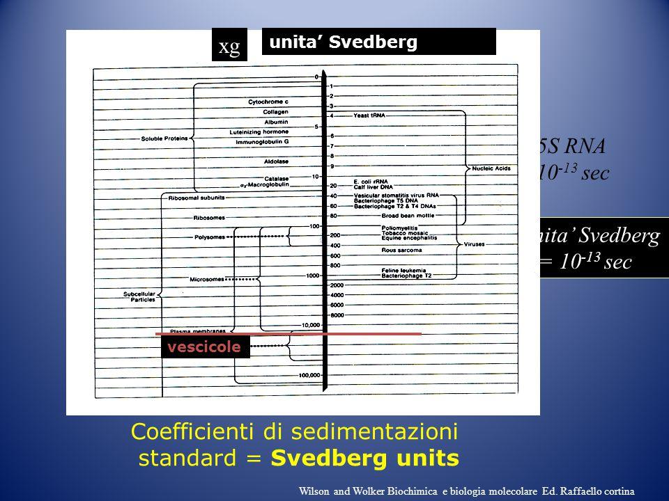 Coefficienti di sedimentazioni standard = Svedberg units 1unita' Svedberg = 10 -13 sec Es. 5S RNA =5x10 -13 sec vescicole xg unita' Svedberg Wilson an