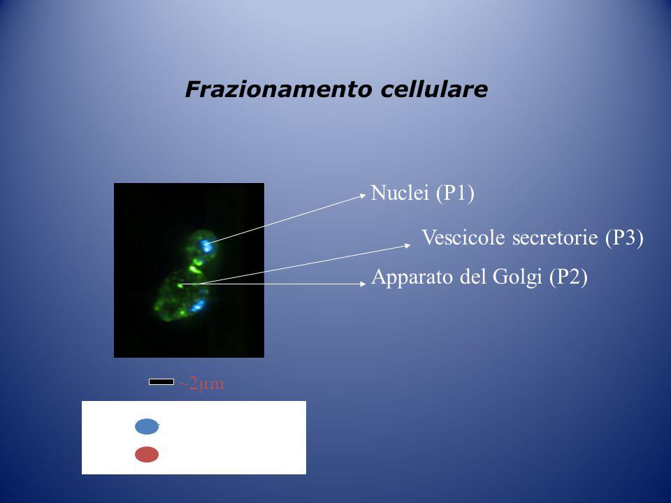 Frazionamento cellulare ~2µm = GFP-Sec2p DAPI Nuclei (P1) Apparato del Golgi (P2) Vescicole secretorie (P3)