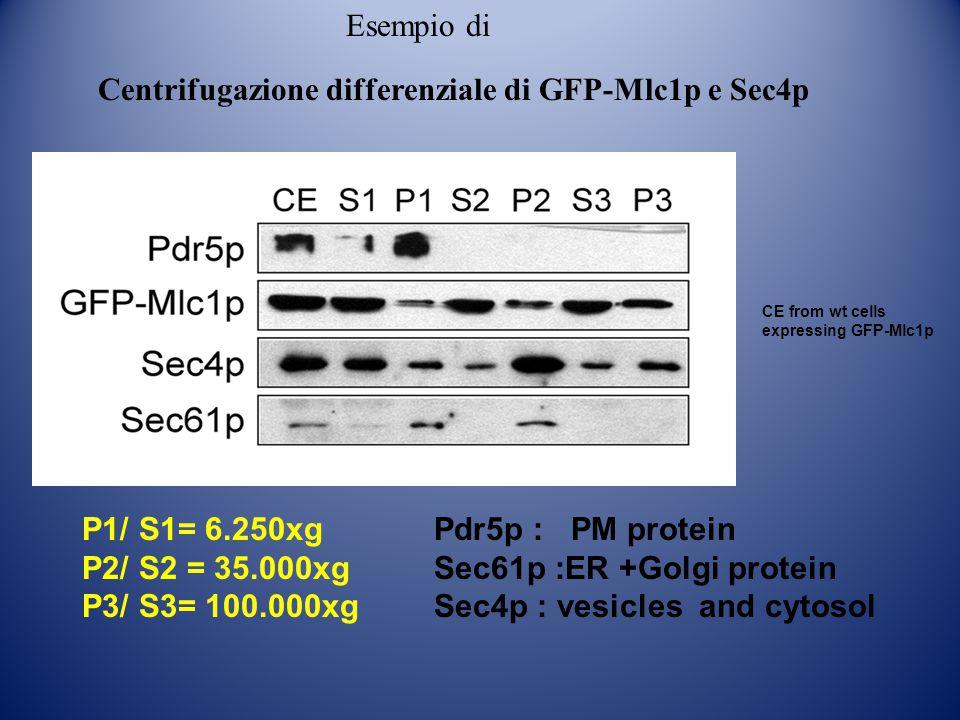 CE from wt cells expressing GFP-Mlc1p P1/ S1= 6.250xg P2/ S2 = 35.000xg P3/ S3= 100.000xg Pdr5p : PM protein Sec61p :ER +Golgi protein Sec4p : vesicle