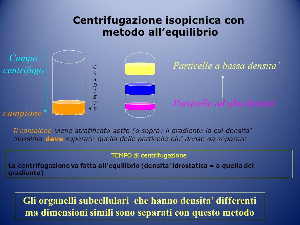 Centrifugazione isopicnica con metodo all'equilibrio GRADIETEGRADIETE Campo centrifugo Particelle a bassa densita' Particelle ad alta densita' campion