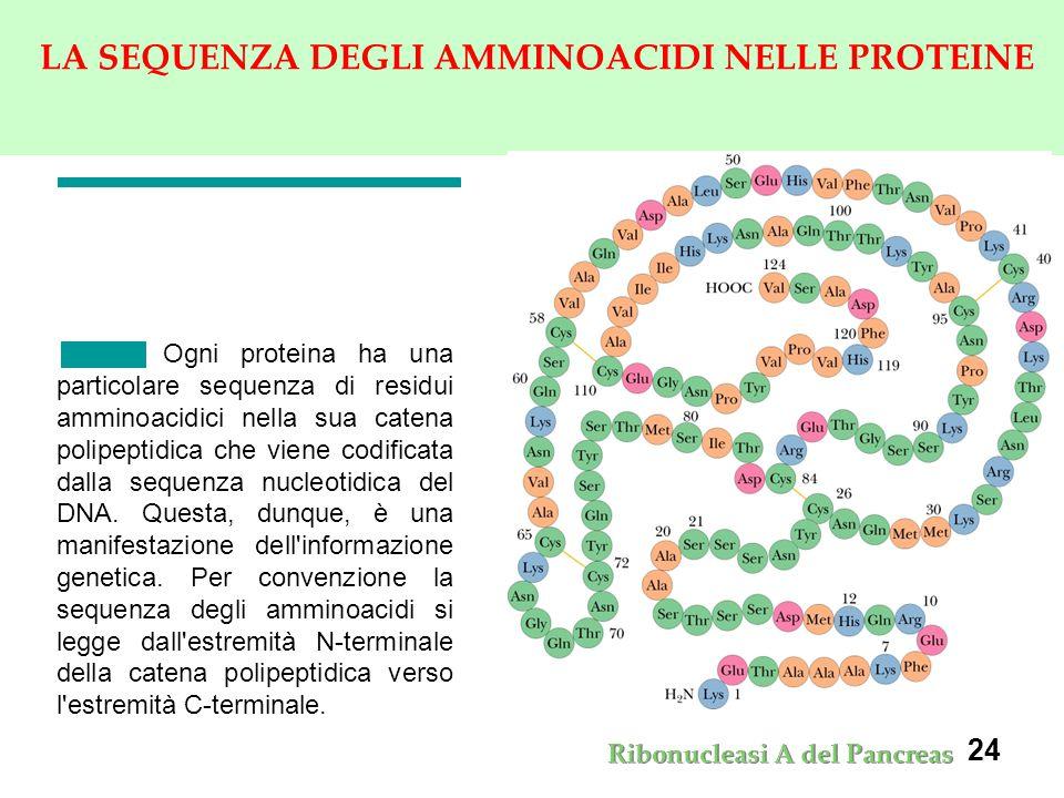 24 LA SEQUENZA DEGLI AMMINOACIDI NELLE PROTEINE Ogni proteina ha una particolare sequenza di residui amminoacidici nella sua catena polipeptidica che viene codificata dalla sequenza nucleotidica del DNA.