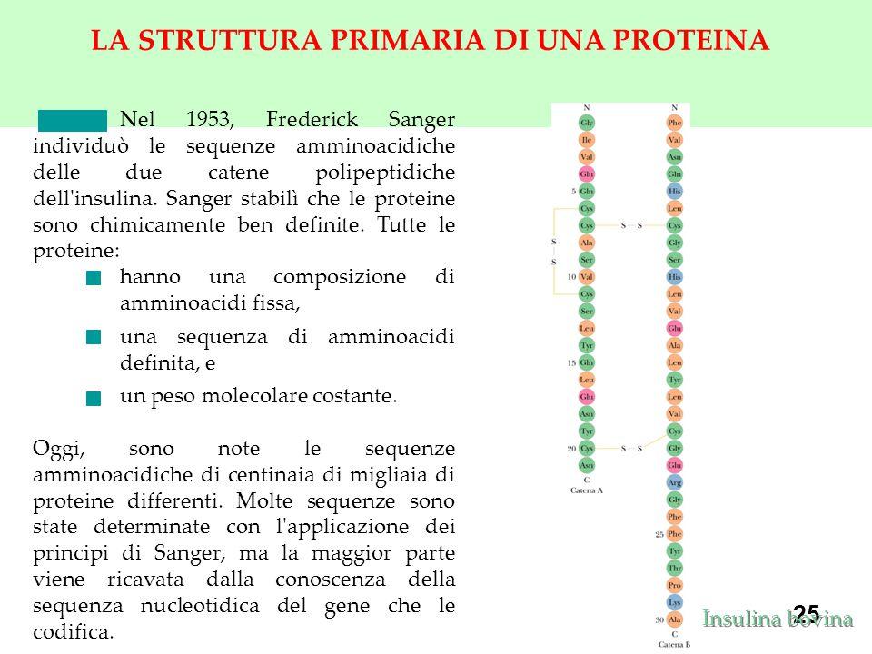 25 LA STRUTTURA PRIMARIA DI UNA PROTEINA Nel 1953, Frederick Sanger individuò le sequenze amminoacidiche delle due catene polipeptidiche dell insulina.