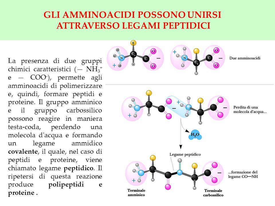 6 GLI AMMINOACIDI POSSONO UNIRSI ATTRAVERSO LEGAMI PEPTIDICI La presenza di due gruppi chimici caratteristici (— NH 3 + e — COO - ), permette agli amm