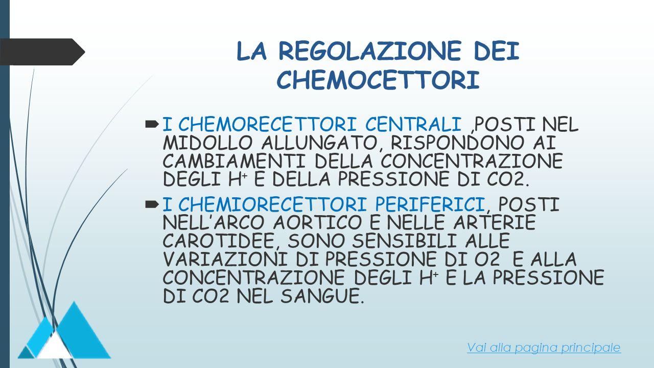 LA REGOLAZIONE DEI CHEMOCETTORI  I CHEMORECETTORI CENTRALI,POSTI NEL MIDOLLO ALLUNGATO, RISPONDONO AI CAMBIAMENTI DELLA CONCENTRAZIONE DEGLI H + E DE
