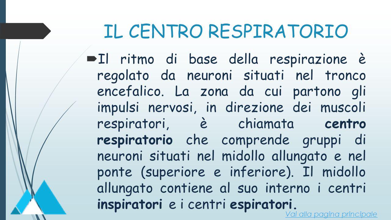 IL CENTRO RESPIRATORIO  Il ritmo di base della respirazione è regolato da neuroni situati nel tronco encefalico. La zona da cui partono gli impulsi n