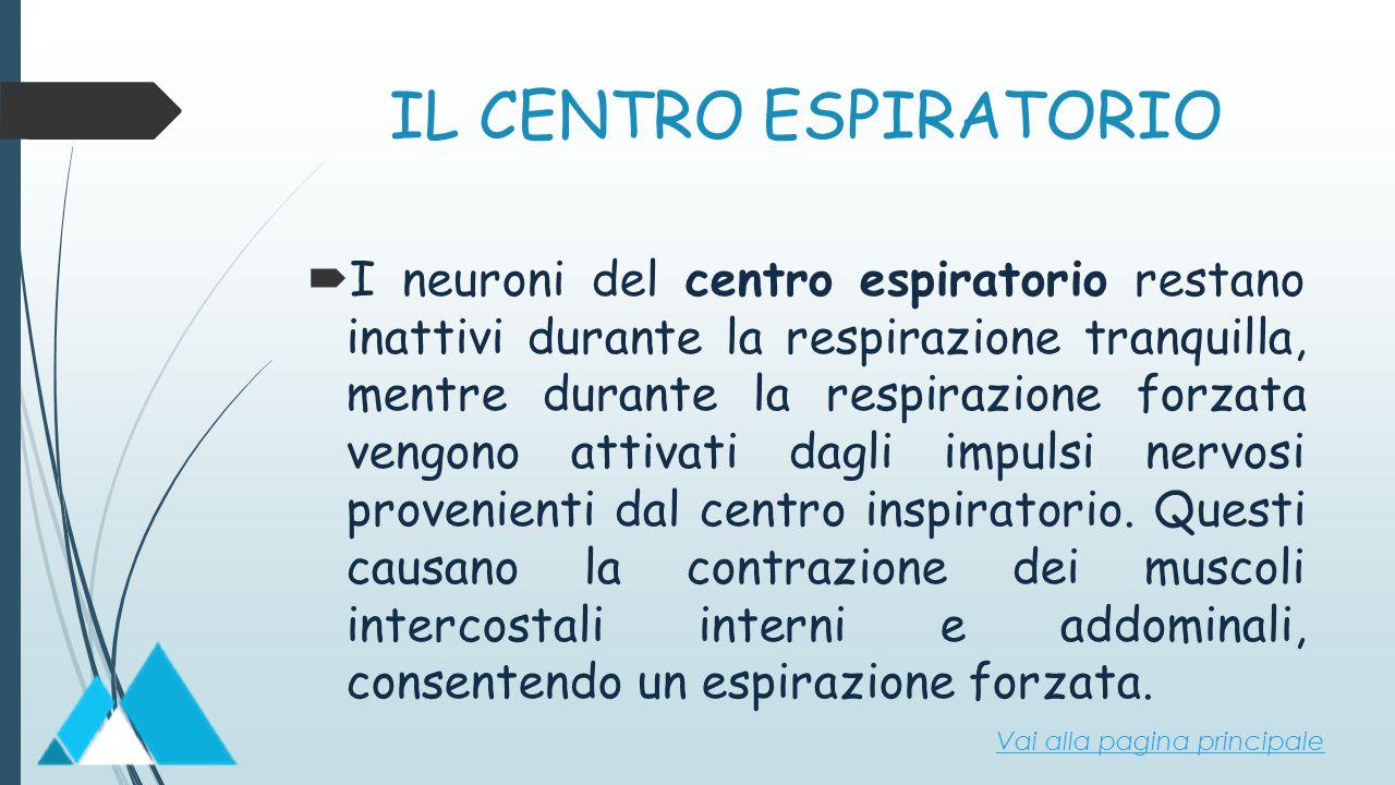 IL CENTRO ESPIRATORIO  I neuroni del centro espiratorio restano inattivi durante la respirazione tranquilla, mentre durante la respirazione forzata v