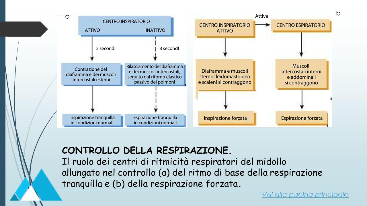 CONTROLLO DELLA RESPIRAZIONE. Il ruolo dei centri di ritmicità respiratori del midollo allungato nel controllo (a) del ritmo di base della respirazion