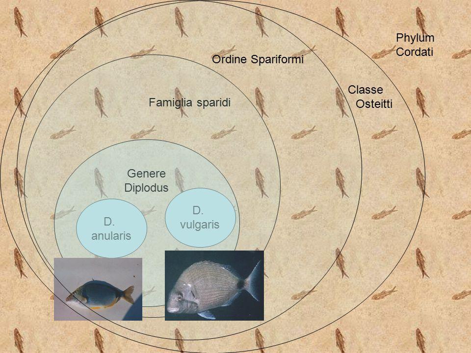 D. vulgaris D. anularis Genere Diplodus Famiglia sparidi Classe Osteitti Ordine Spariformi Phylum Cordati