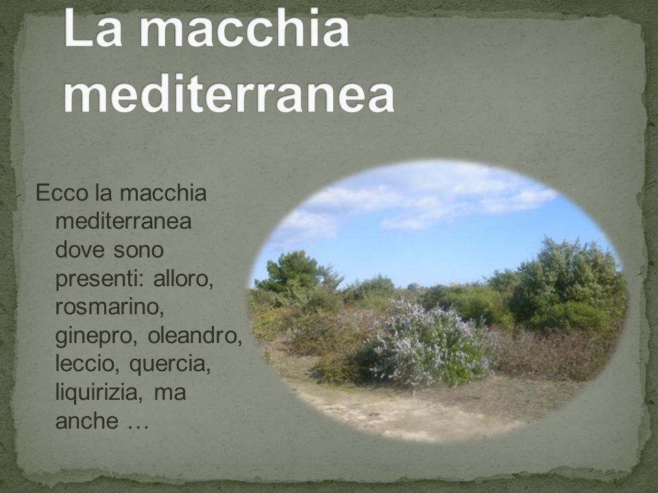 Ecco la macchia mediterranea dove sono presenti: alloro, rosmarino, ginepro, oleandro, leccio, quercia, liquirizia, ma anche …