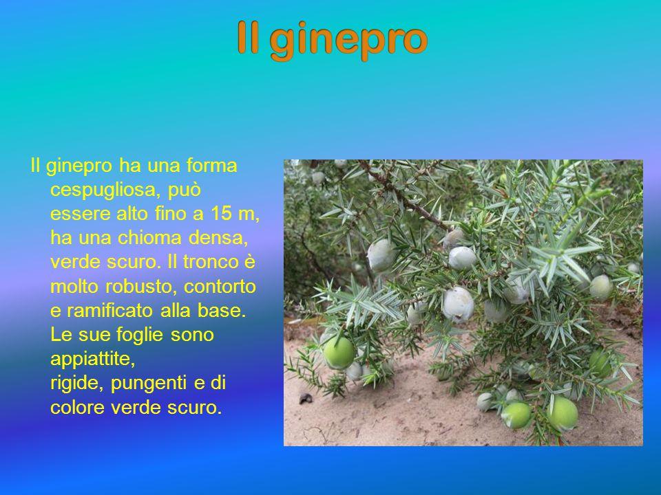 Il ginepro ha una forma cespugliosa, può essere alto fino a 15 m, ha una chioma densa, verde scuro.