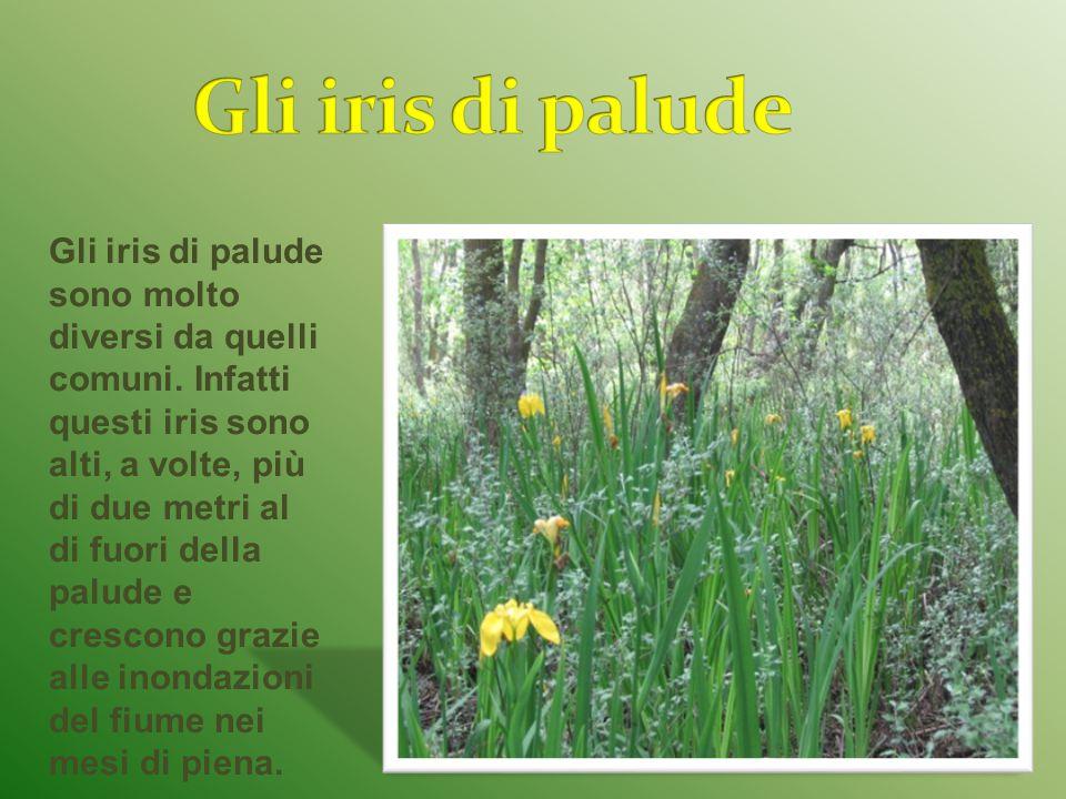 Gli iris di palude sono molto diversi da quelli comuni.