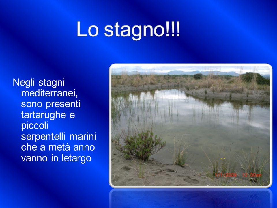 Negli stagni mediterranei, sono presenti tartarughe e piccoli serpentelli marini che a metà anno vanno in letargo