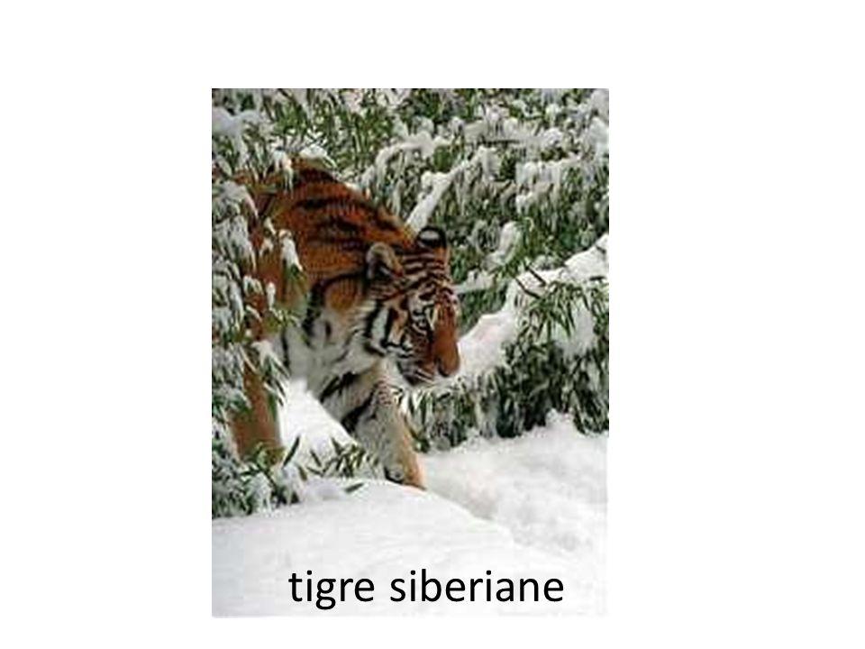 tigre siberiane