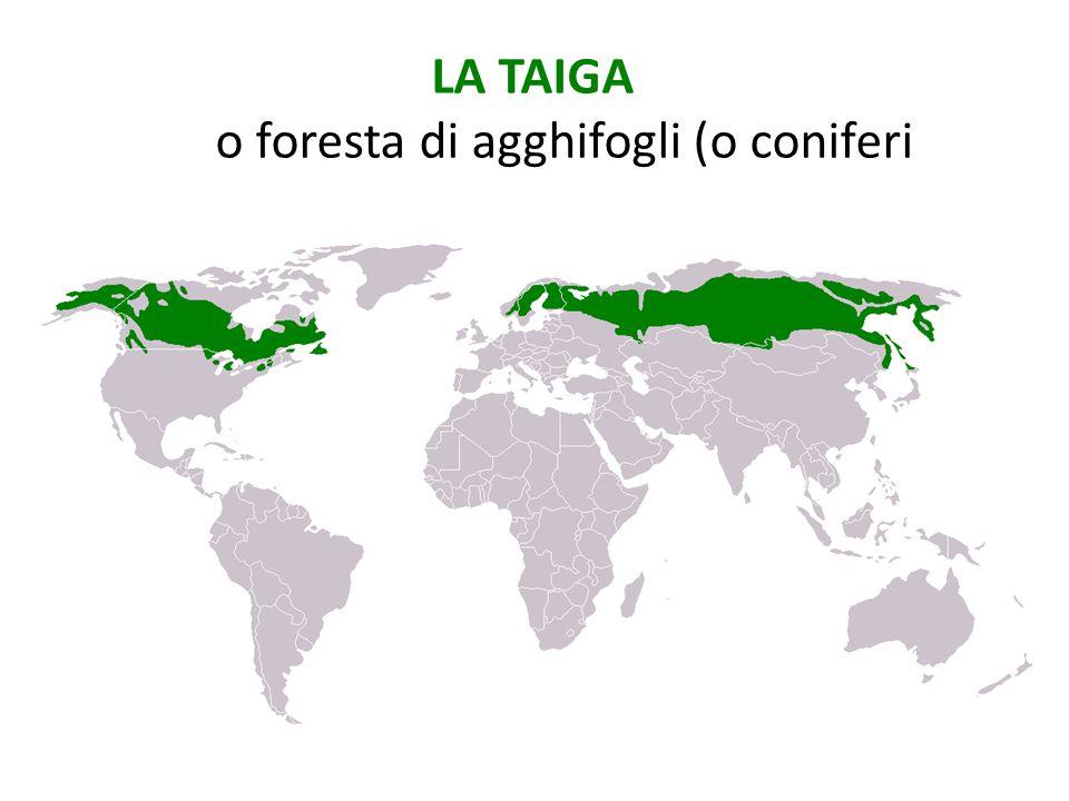 LA TAIGA o foresta di agghifogli (o coniferi