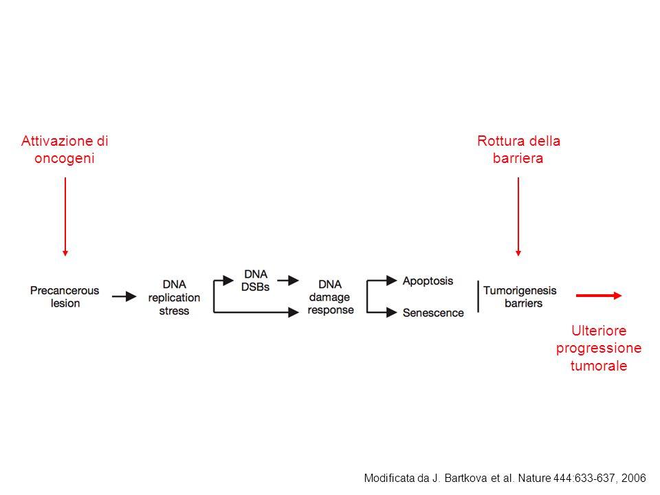 Attivazione di oncogeni Rottura della barriera Ulteriore progressione tumorale Modificata da J.