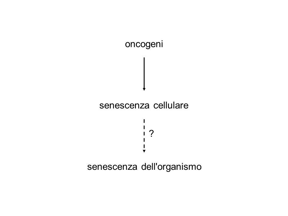 oncogeni senescenza dell organismo senescenza cellulare